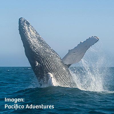 Avistamiento de ballenas jorobadas: conoce todo acerca esta increíble actividad en el norte del Perú