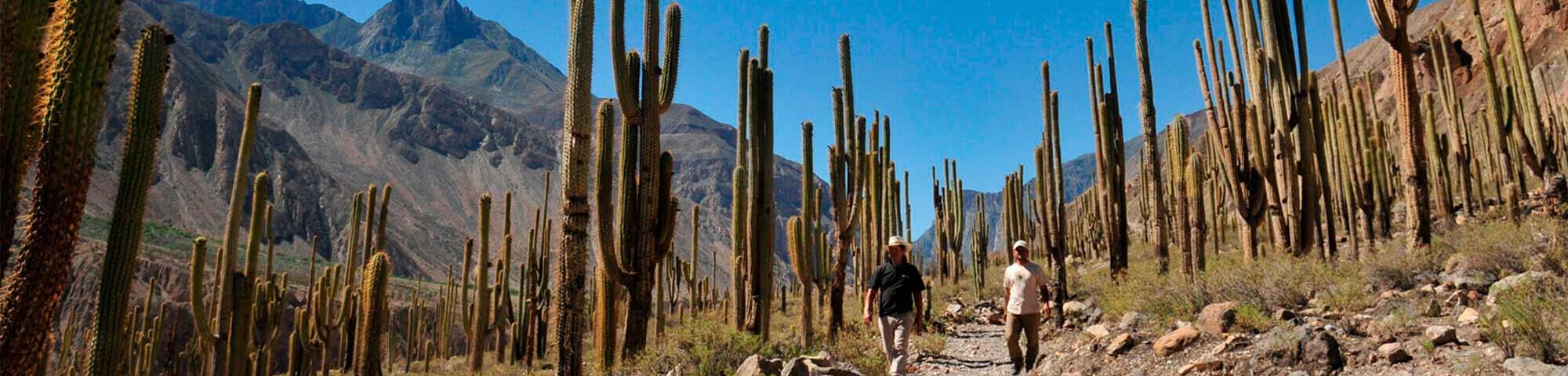 Bosque de Cactus de Judío Pampa (Quechualla)