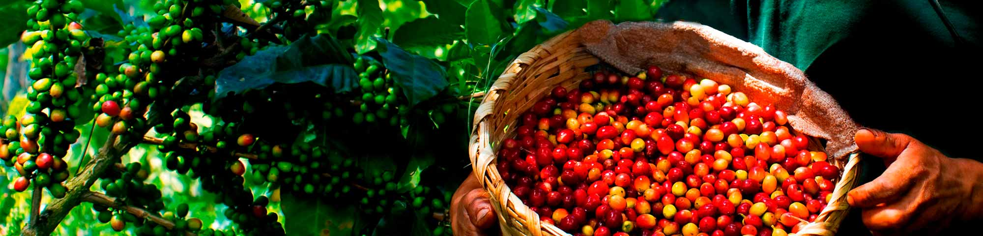 Plantas Procesadoras de café (Chanchamayo Highland Coffee y Café Green Gold)