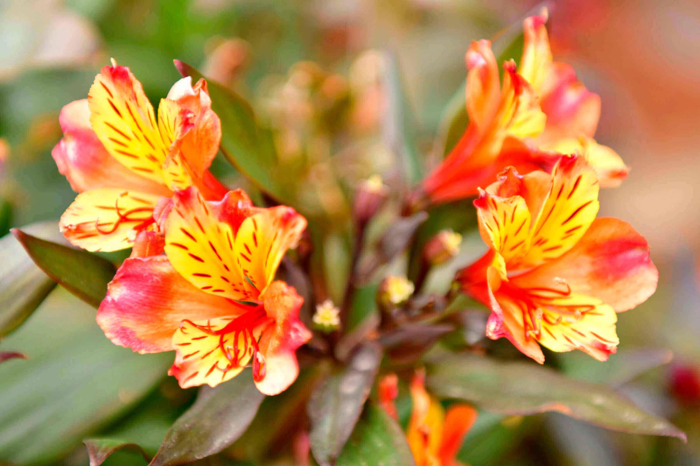 azucena-peruana