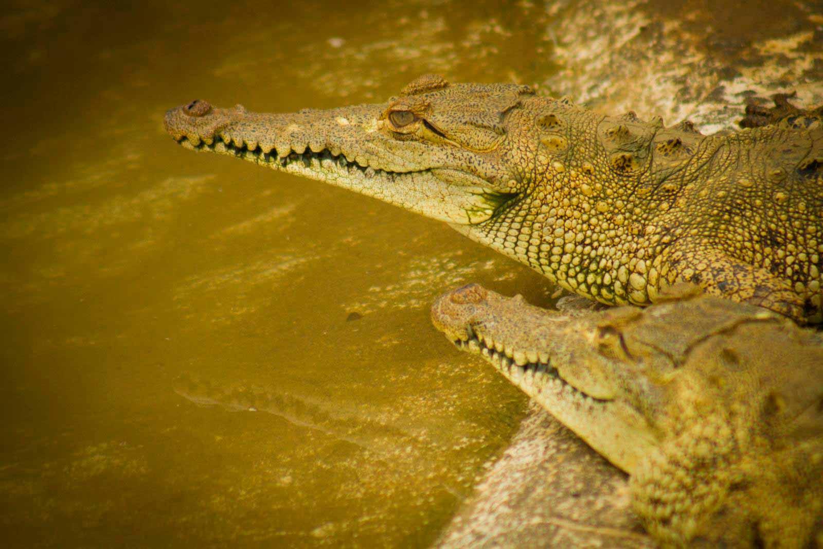 cocodrilo-manglar
