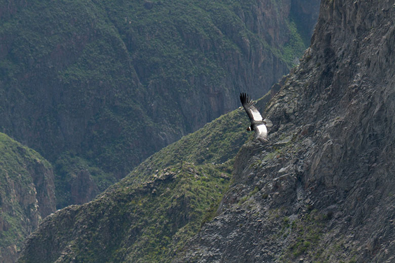 Condor en el Valle del Colca