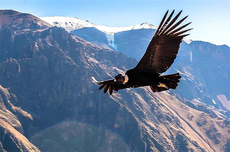 condor-majestuoso