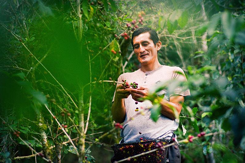 Hombre cosechando granos de café Día del Café peruano