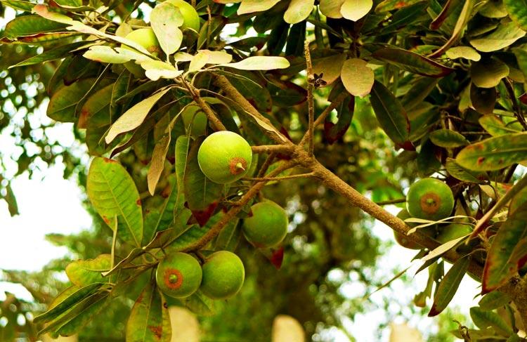 frutas-de-lucuma