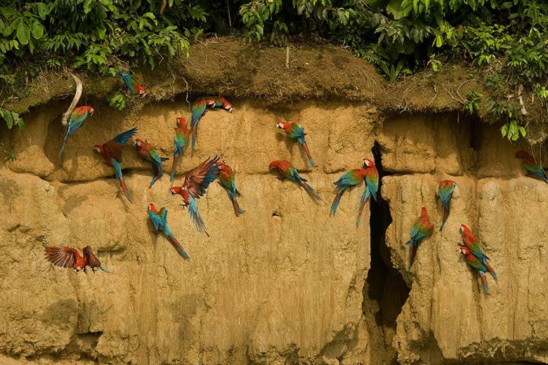 Guacamayos en el Manu