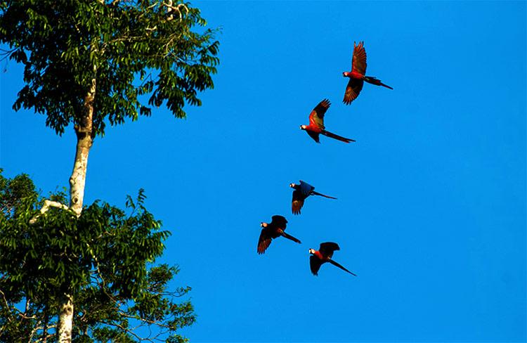 Guacamayos en Reserva Nacional Tambopata