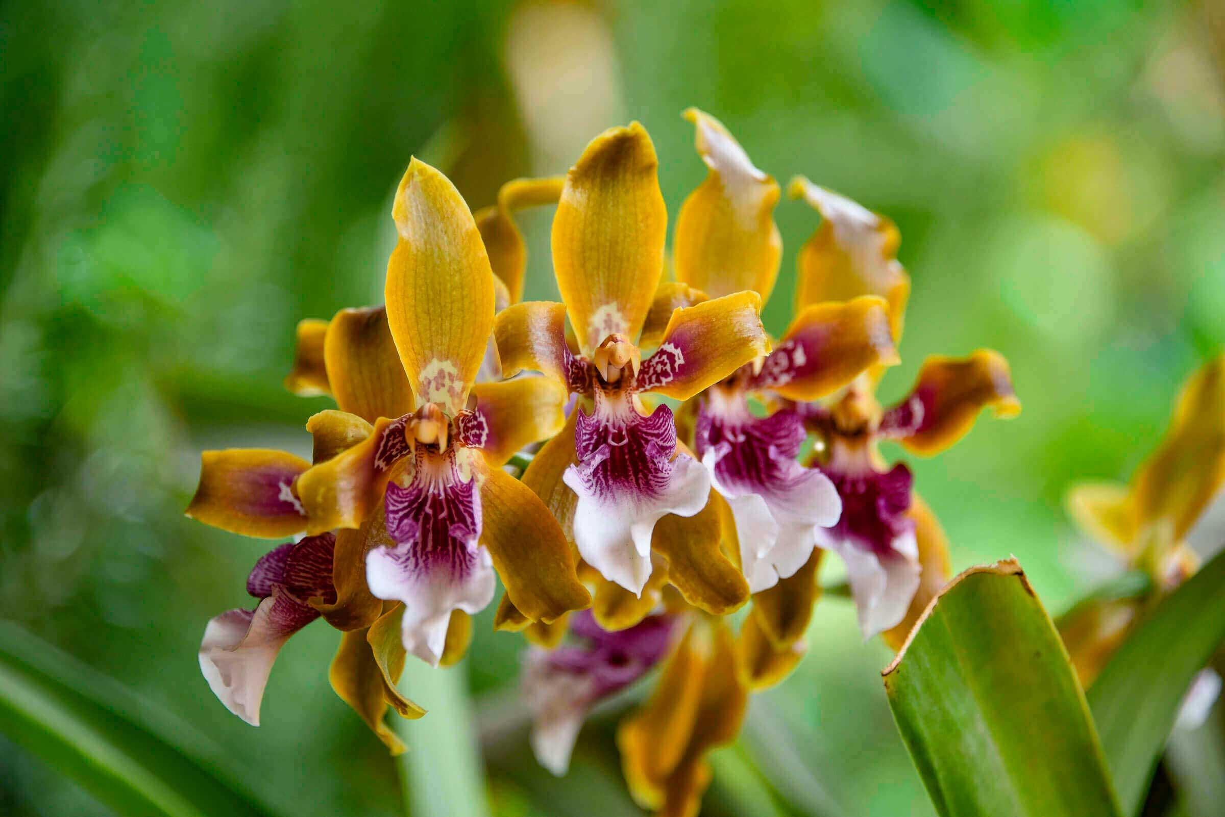 orquidea-de-cusco
