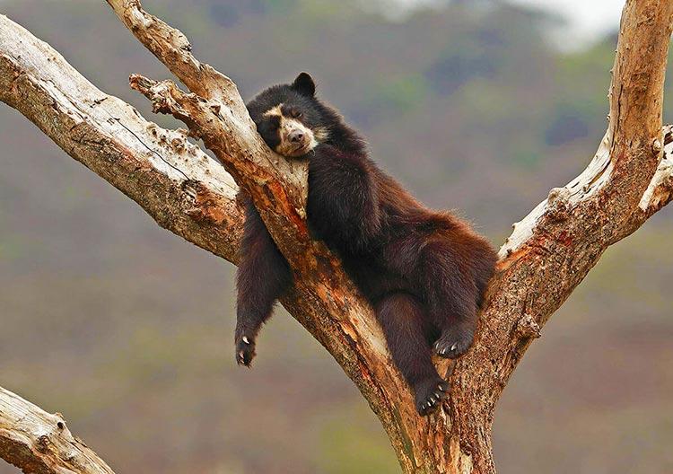 oso-del-peru