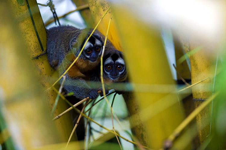 Biodiversidad de Parques Nacionales del Perú - Monos