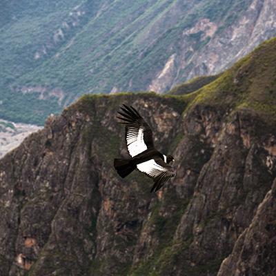 ¡El espectacular vuelo del cóndor en el Mirador de Chonta!