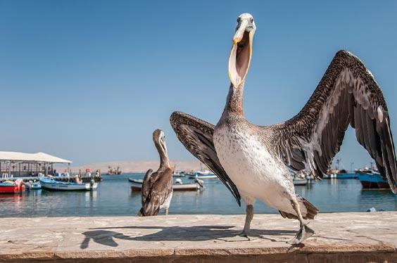 Pelicano en Bahia Paracas