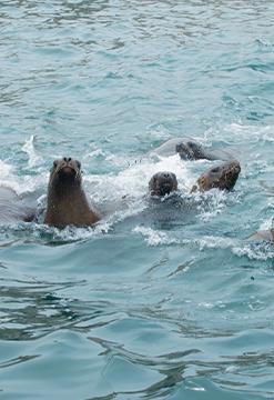 Vive la Experiencia de nadar con lobos marinos en las Islas Palomino