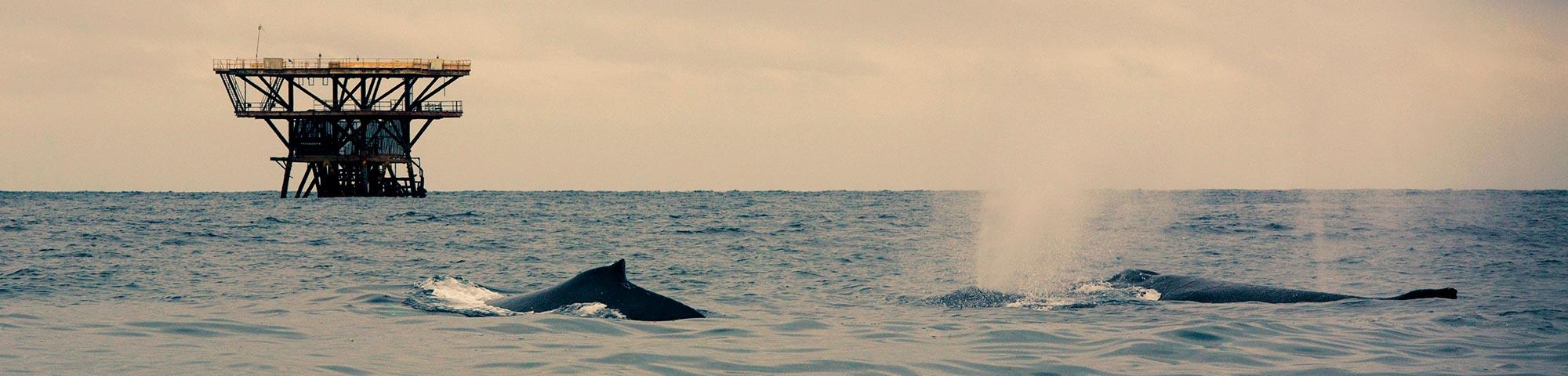 Piura y Tumbes reactivarán el turismo con avistamiento de ballenas